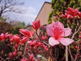 GWにツツジが開花です!