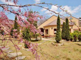 やっと桜が開花いたしました