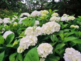 紫陽花の季節と料金形態の変更